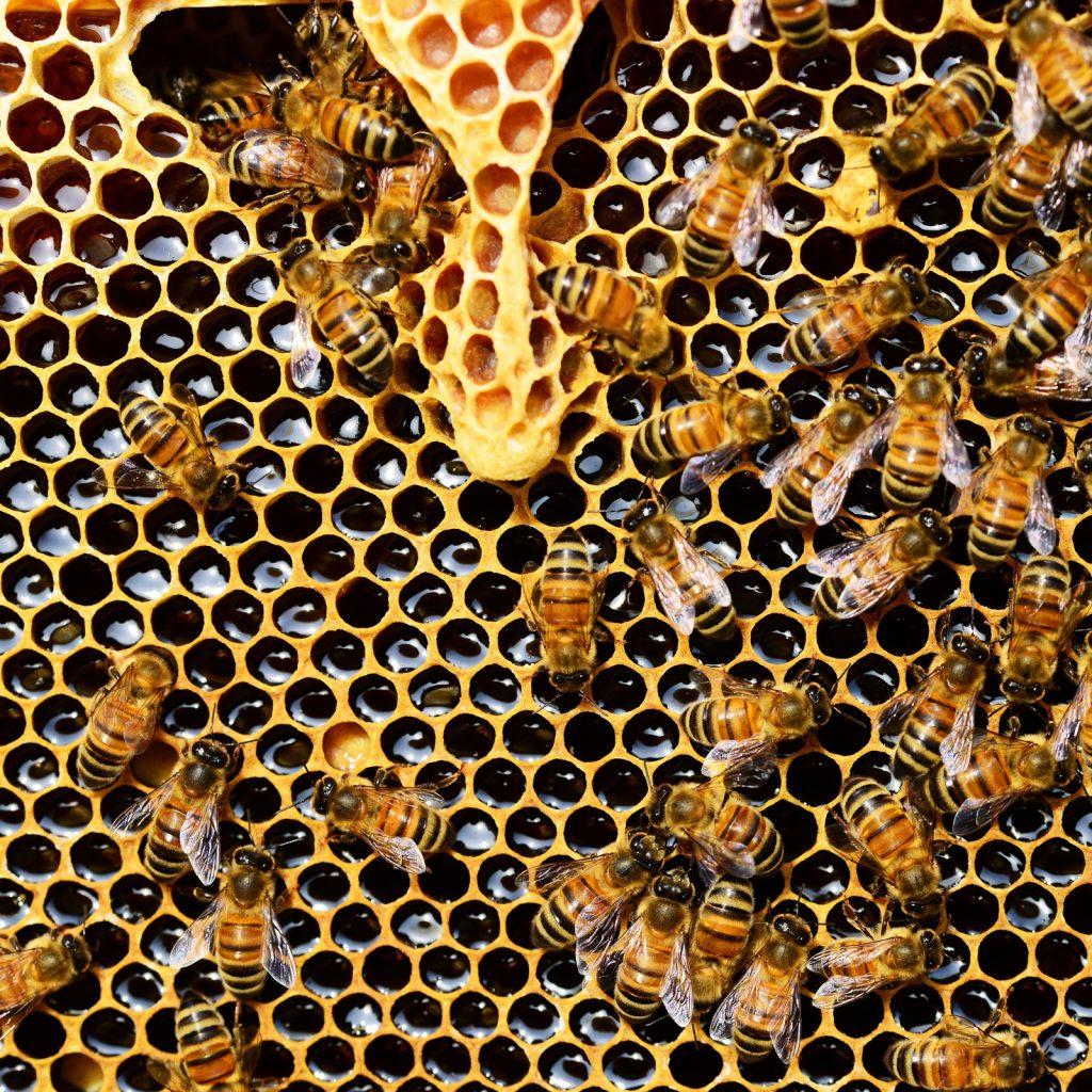 apis_mellifera_bee_beekeeping_web